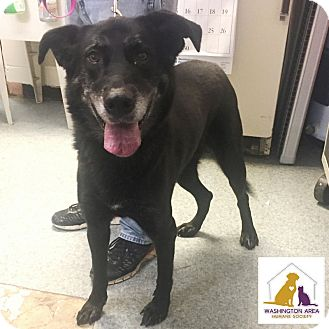Labrador Retriever Mix Dog for adoption in Eighty Four, Pennsylvania - Brie