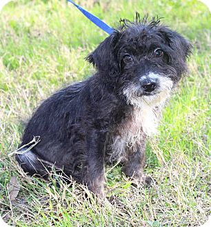 Maltese/Poodle (Miniature) Mix Puppy for adoption in Jacksonville, Florida - BENTLEY