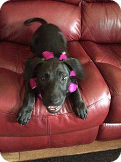 Labrador Retriever Mix Puppy for adoption in Valley Stream, New York - Buster