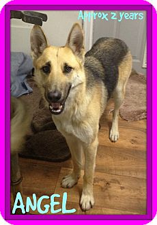 German Shepherd Dog Dog for adoption in Manchester, New Hampshire - ANGEL