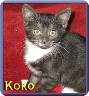 Domestic Shorthair Kitten for adoption in Aldie, Virginia - Koko