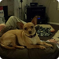Adopt A Pet :: Brownie - Glendale, AZ