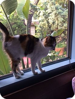 Domestic Shorthair Cat for adoption in Mission Viejo, California - Mama