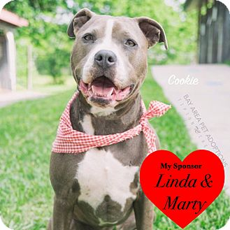 American Pit Bull Terrier Dog for adoption in San Leon, Texas - Cookie
