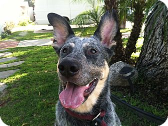 Australian Cattle Dog/Shepherd (Unknown Type) Mix Dog for adoption in Canoga Park, California - Shammy *The Goofy Pup*