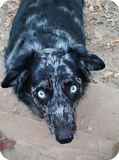 Australian Cattle Dog/Australian Shepherd Mix Dog for adoption in Washington, D.C. - Bogle