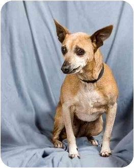 Chihuahua Mix Dog for adoption in Anna, Illinois - BRONWYN