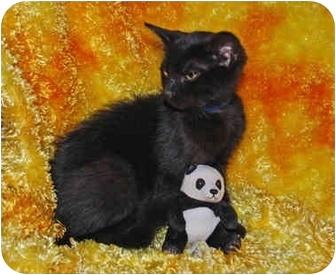 Maine Coon Kitten for adoption in Colmar, Pennsylvania - Reno