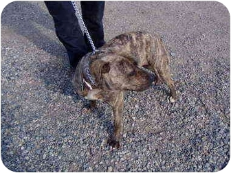 American Pit Bull Terrier Dog for adoption in Cedaredge, Colorado - Bissa