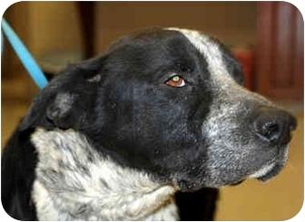 Labrador Retriever/Pointer Mix Dog for adoption in Spring Valley, New York - Max Reduced FEE