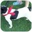 Photo 3 - Feist/Rat Terrier Mix Dog for adoption in Olive Branch, Mississippi - Cee Cee