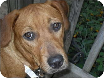Rhodesian Ridgeback/Hound (Unknown Type) Mix Dog for adoption in Newport, Vermont - Mindi