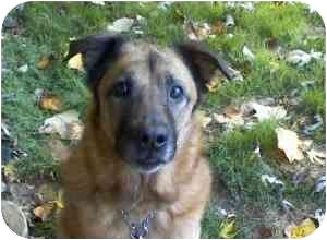 German Shepherd Dog/Collie Mix Dog for adoption in Raritan, New Jersey - Mikey