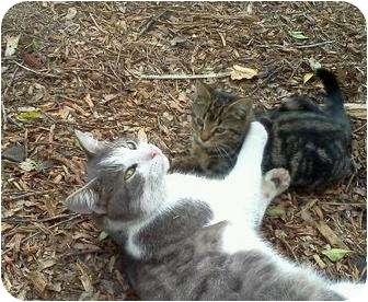 Domestic Shorthair Cat for adoption in Orlando, Florida - Petie