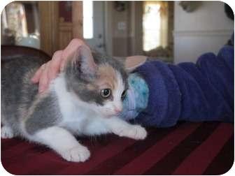 Calico Kitten for adoption in Long Beach, New York - Savannah