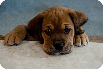 Bloodhound/Cocker Spaniel Mix Puppy for adoption in Morehead City, North Carolina - Daisy