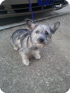 Schnauzer (Standard) Mix Puppy for adoption in Alexandria, Virginia - Murphy