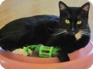 Domestic Shorthair Cat for adoption in Prescott, Arizona - Gina