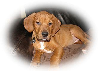Hound (Unknown Type)/Bloodhound Mix Puppy for adoption in Cincinnati, Ohio - Ralph