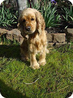 Cocker Spaniel Dog for adoption in Sugarland, Texas - Watson