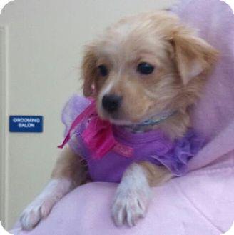 Pomeranian Mix Puppy for adoption in Encinitas, California - Chloe