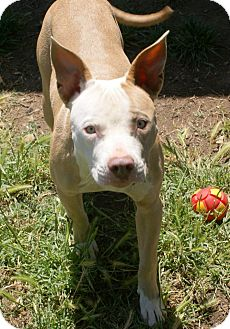 American Pit Bull Terrier Mix Dog for adoption in Yuba City, California - 05/21 Ana