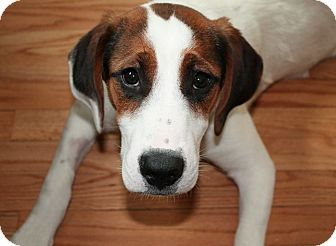 Coonhound Mix Puppy for adoption in Hainesville, Illinois - Daisy