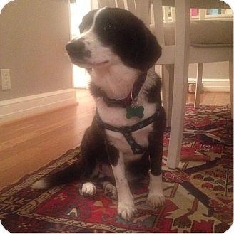 Beagle/Spaniel (Unknown Type) Mix Dog for adoption in Alexandria, Virginia - Emma