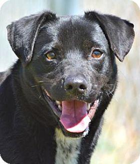 Labrador Retriever/Terrier (Unknown Type, Medium) Mix Dog for adoption in Jacksonville, Arkansas - Petey