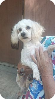 Poodle (Miniature) Dog for adoption in Crump, Tennessee - Bennie