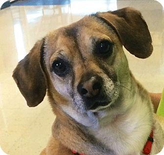 Dachshund/Chihuahua Mix Dog for adoption in Las Vegas, Nevada - Otto