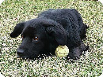 Corgi/Spaniel (Unknown Type) Mix Dog for adoption in Alexandria, Virginia - Finley