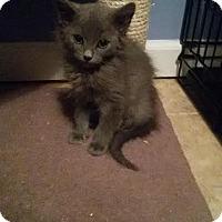 Adopt A Pet :: kitten #2/Pepsi - McDonough, GA