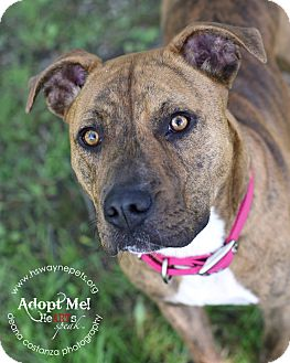 American Pit Bull Terrier Mix Dog for adoption in Lyons, New York - Shera