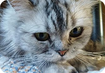Persian Cat for adoption in Anderson, South Carolina - Chelsey