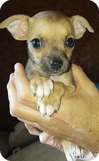 Chihuahua/Terrier (Unknown Type, Small) Mix Puppy for adoption in Westport, Connecticut - Nora