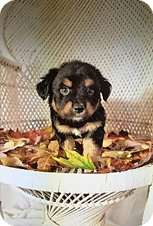 Shih Tzu/Beagle Mix Puppy for adoption in Bedminster, New Jersey - Irwin
