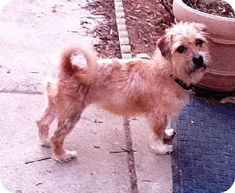 Cairn Terrier Mix Dog for adoption in Buffalo, New York - Betsy