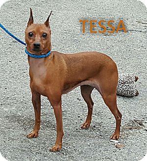 Miniature Pinscher Dog for adoption in Clarion, Pennsylvania - TESSA