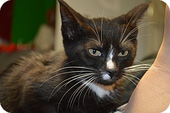 Domestic Shorthair Kitten for adoption in Monroe, Michigan - Jane