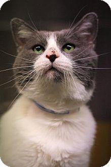 Domestic Shorthair Cat for adoption in Parma, Ohio - Bob