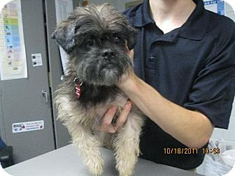 Brussels Griffon Mix Dog for adoption in Rockville, Maryland - Opie