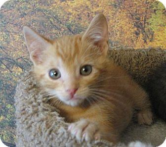 Domestic Shorthair Kitten for adoption in Davis, California - Virgil