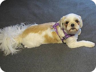 Shih Tzu Dog for adoption in Eden Prairie, Minnesota - JEFFYpending