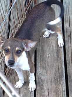 Chihuahua/Rat Terrier Mix Dog for adoption in Shannon, Georgia - nikki
