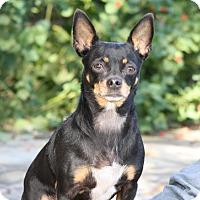 Adopt A Pet :: Baylee - Dallas, TX