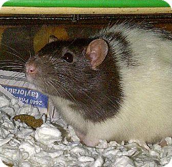 Rat for adoption in Kingston, Ontario - Annabelle