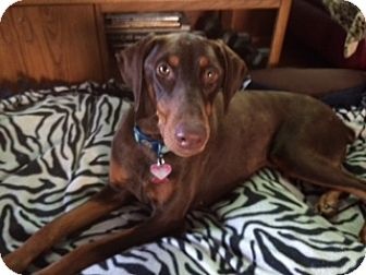 Doberman Pinscher Dog for adoption in Palmyra, Nebraska - Jazzy