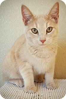 Domestic Shorthair Kitten for adoption in Fredericksburg, Texas - Romulus
