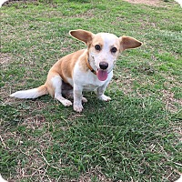 Adopt A Pet :: Bella - Natchitoches, LA